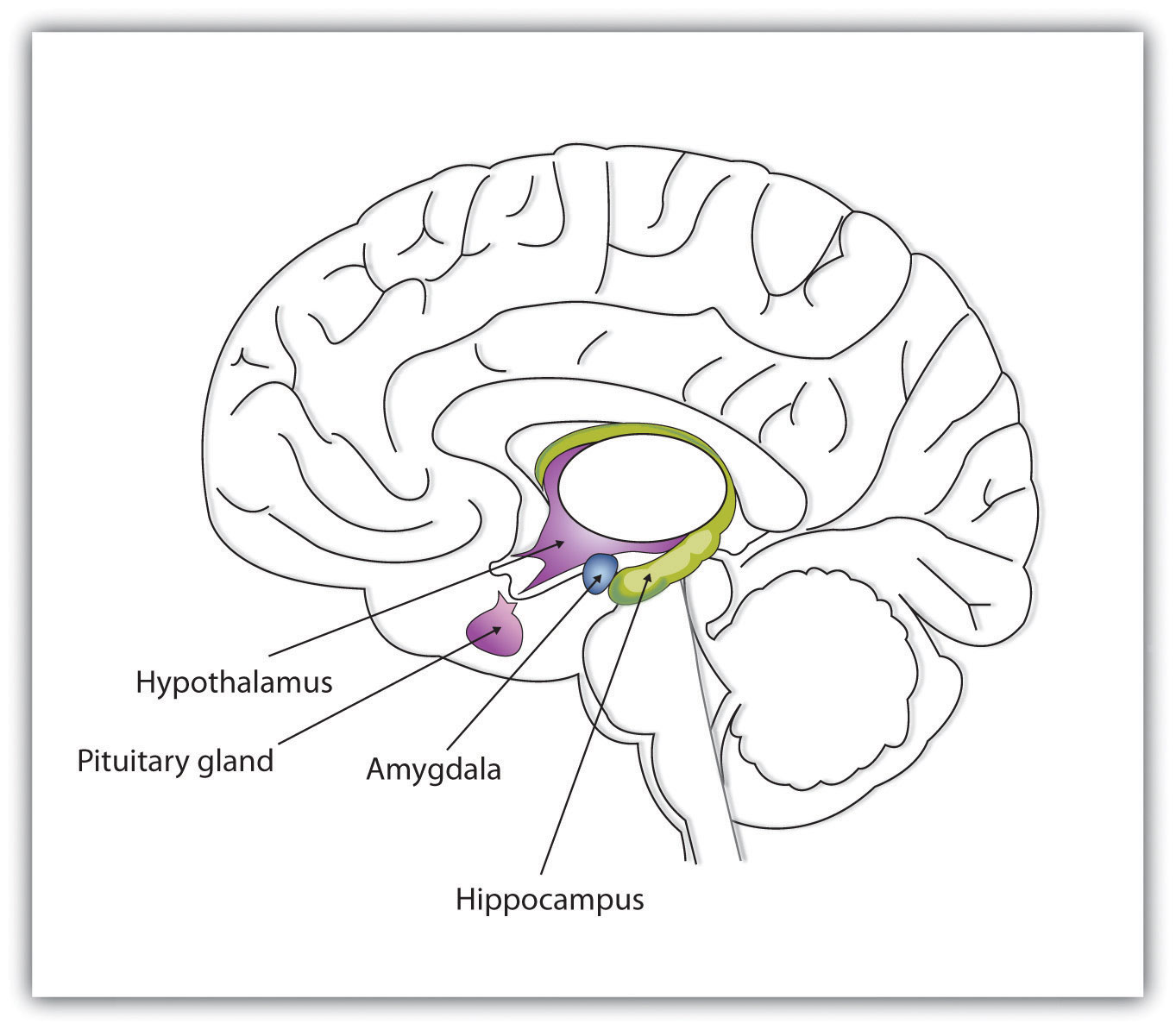 The limbic system is a part of the brain that includes the amygdala. The amygdala is an important regulator of emotions