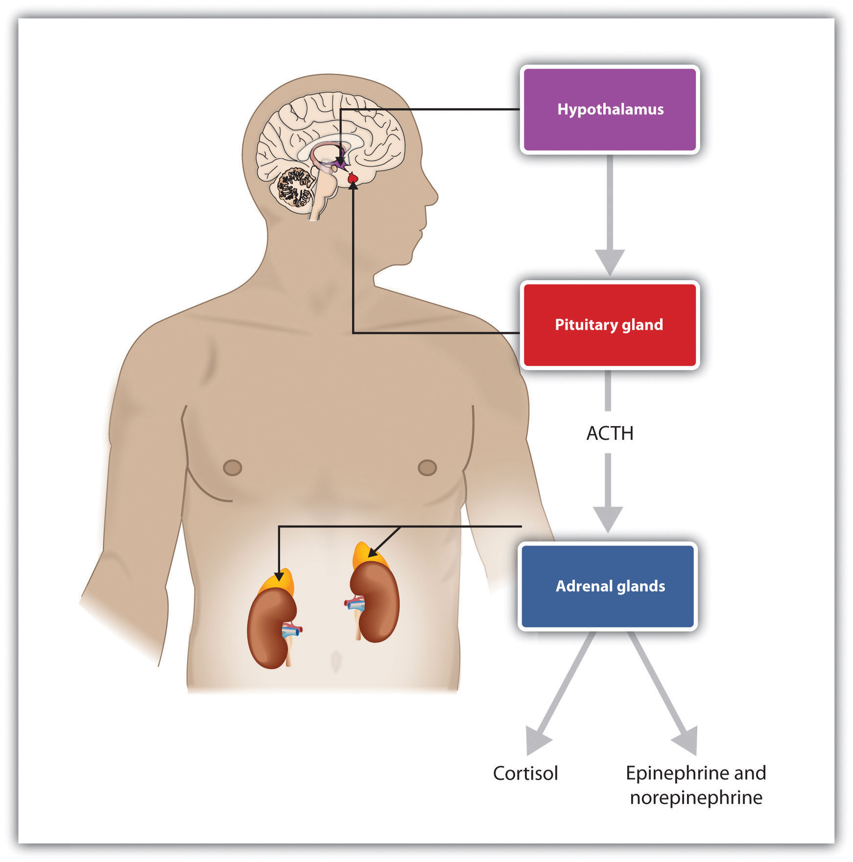 Stress activates the HPA axis. The result is the secretion of epinephrine, norepinephrine, and cortisol