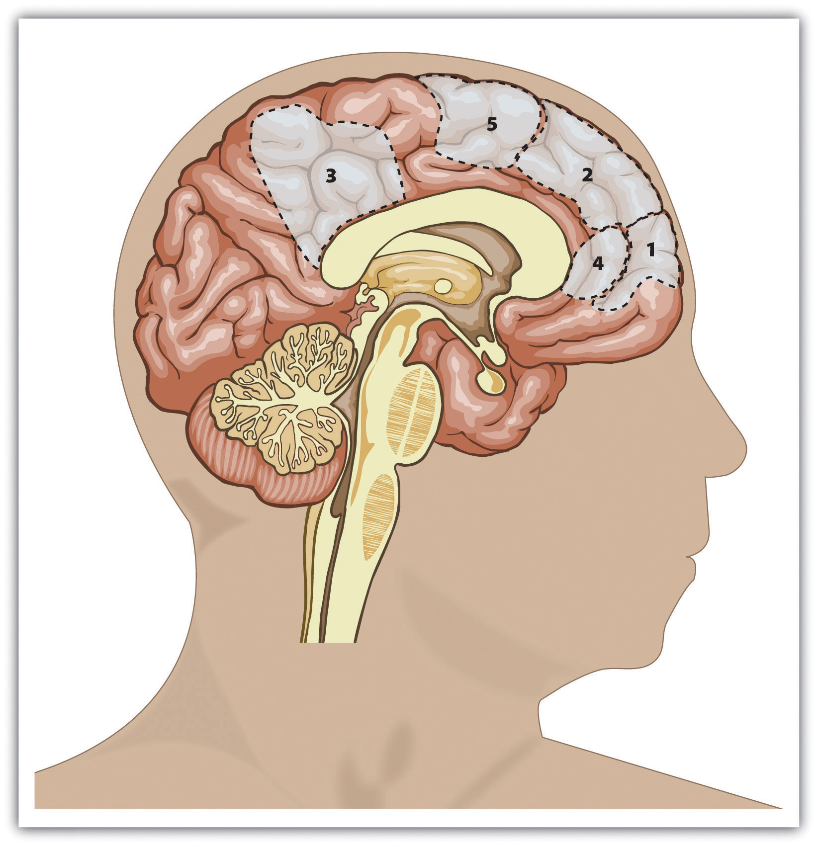 This figure shows the areas of the human brain that are known to be important in processing information about the self. They include primarily areas of the prefrontal cortex (areas 1, 2, 4, and 5).