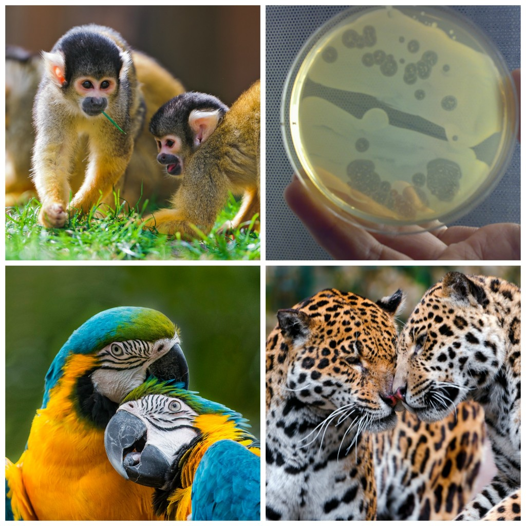 Collage: Squirrel monkeys playing in the grass, a petri dish full of bacteria, two macaws cuddling each other, and two jaguars rubbing their faces together