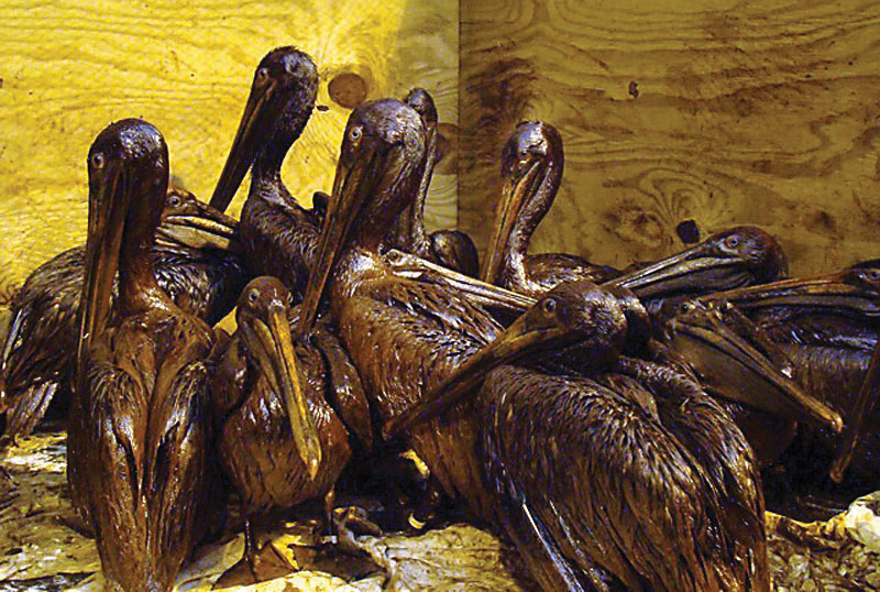 Penguins covered in oil after the BP oil spill