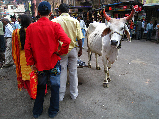 A Cow on the streets in Mumbai