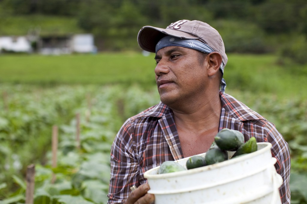 A Migrant worker at a Cucumber field in Blackwater, VA