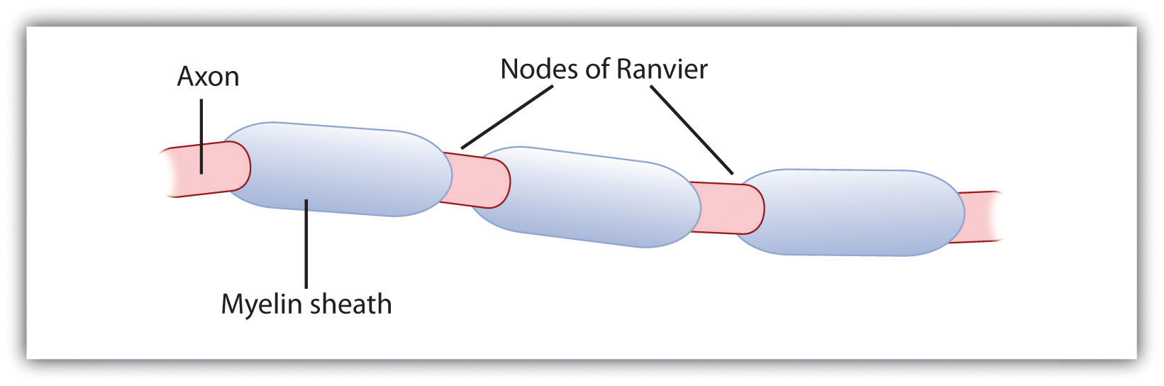 The Myelin Sheath and the Nodes of Ranvier.