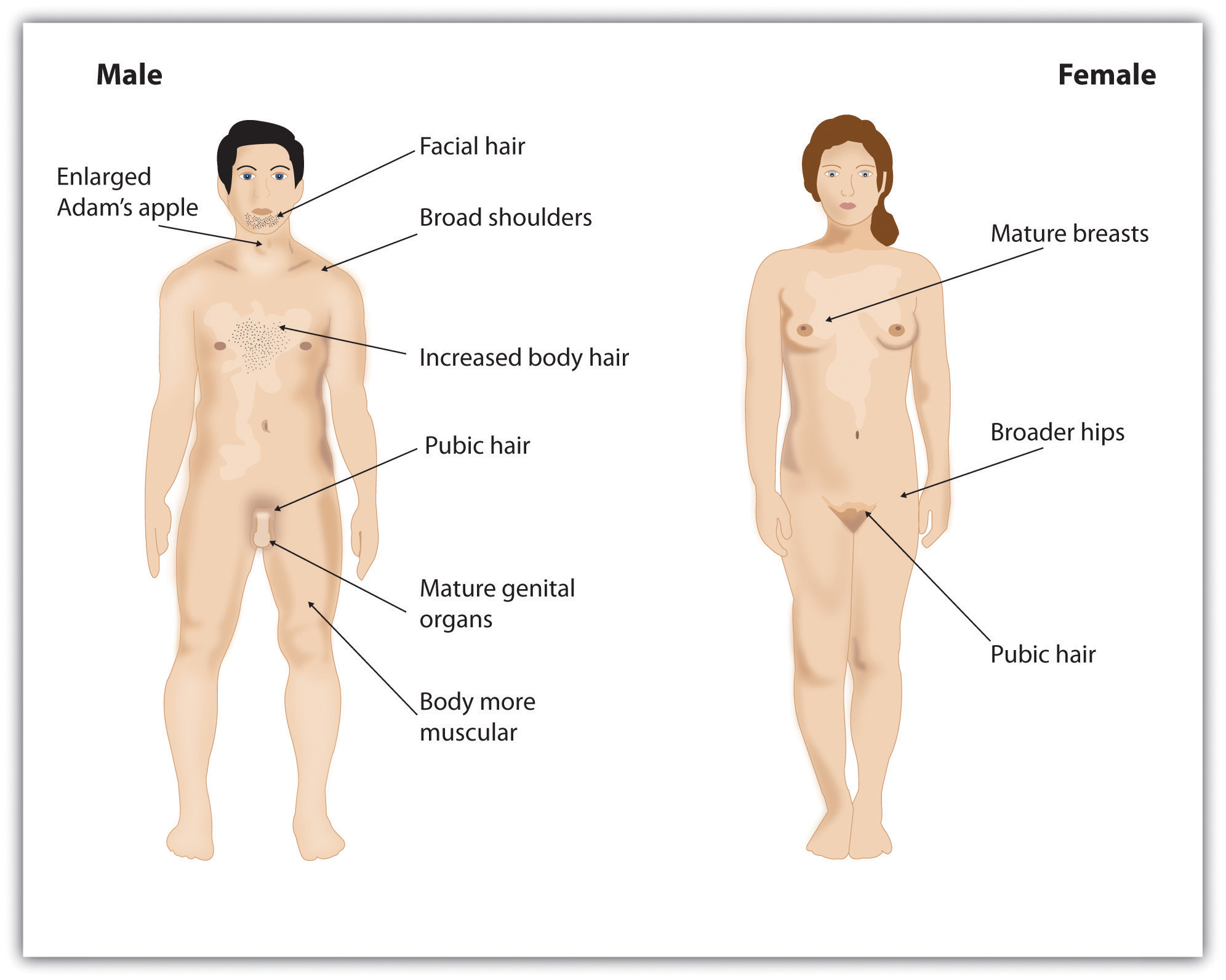 Diagram of sex characteristics, man on left, woman on right
