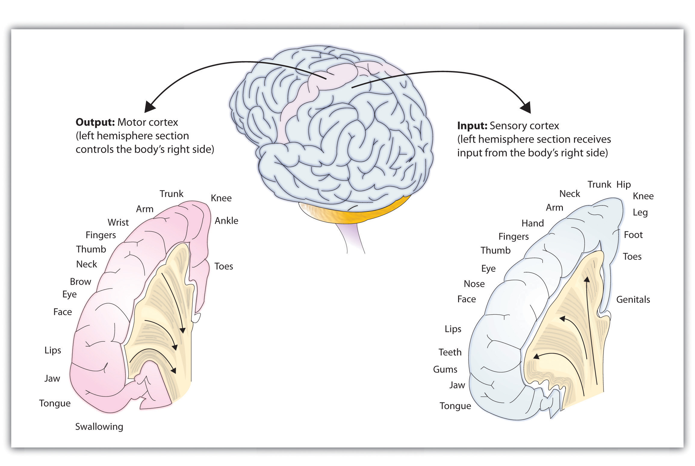 The sensory cortex and the motor cortex