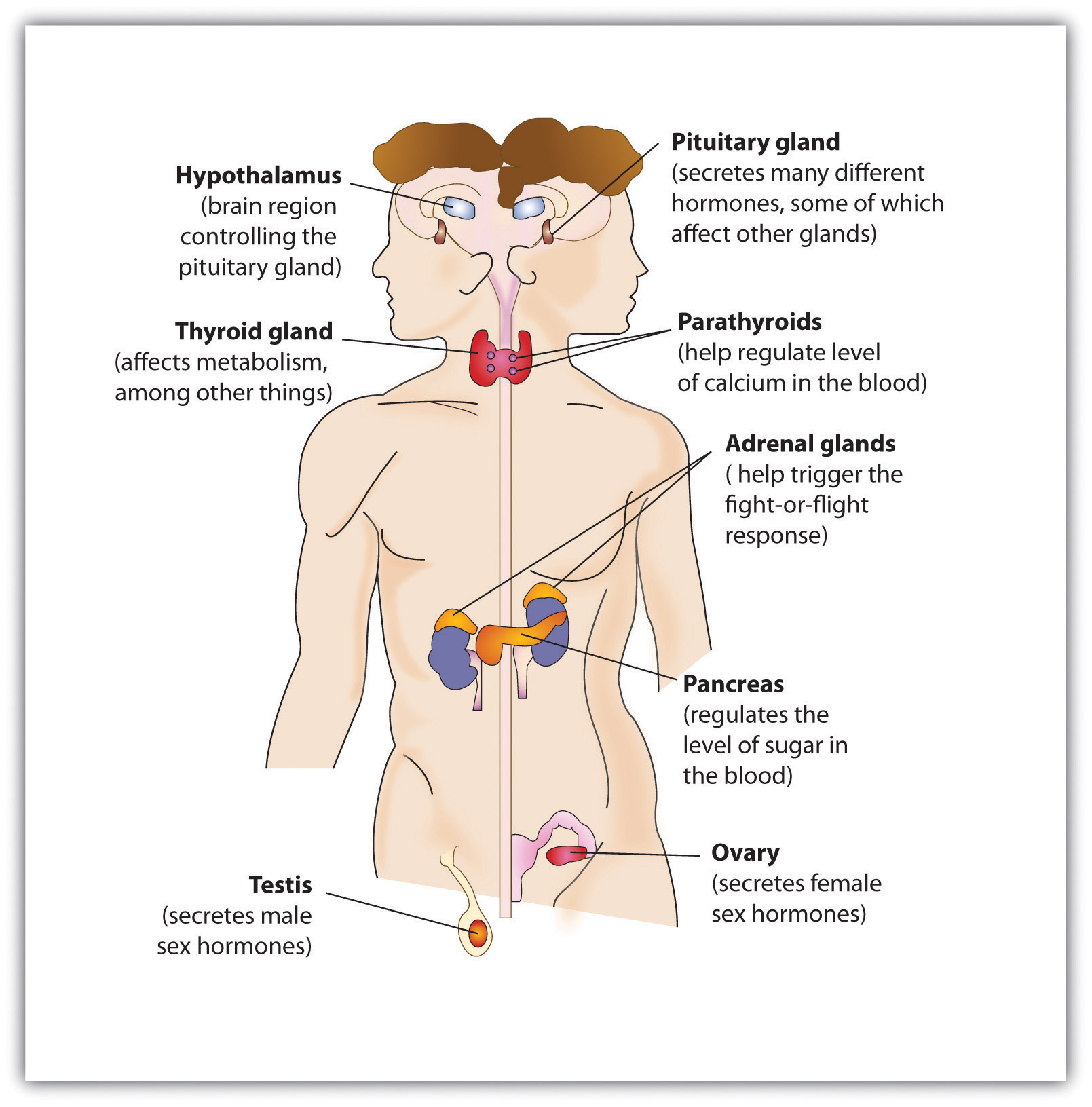 A diagram of the major glands of the endocrine system