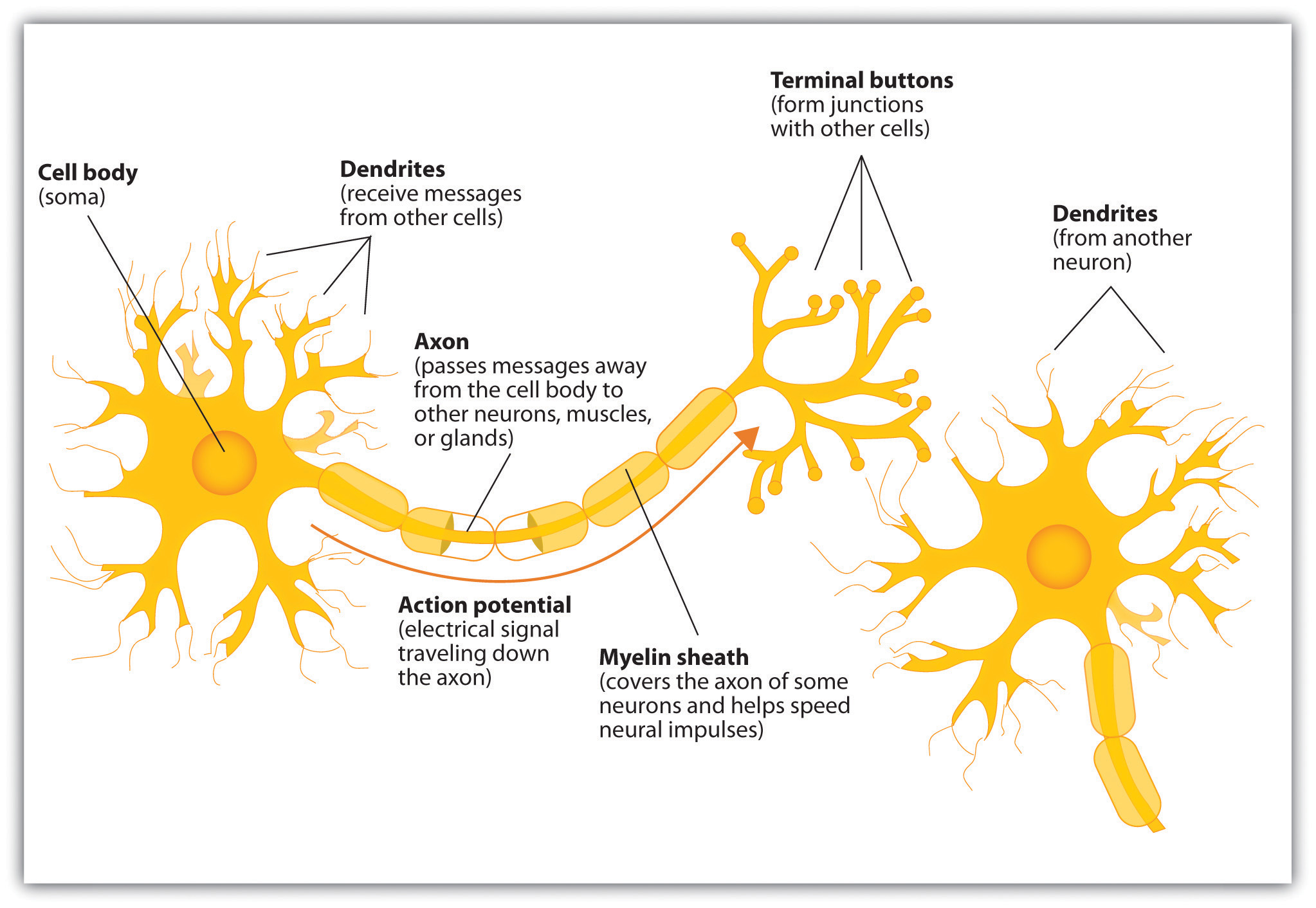 Components of the Neuron.