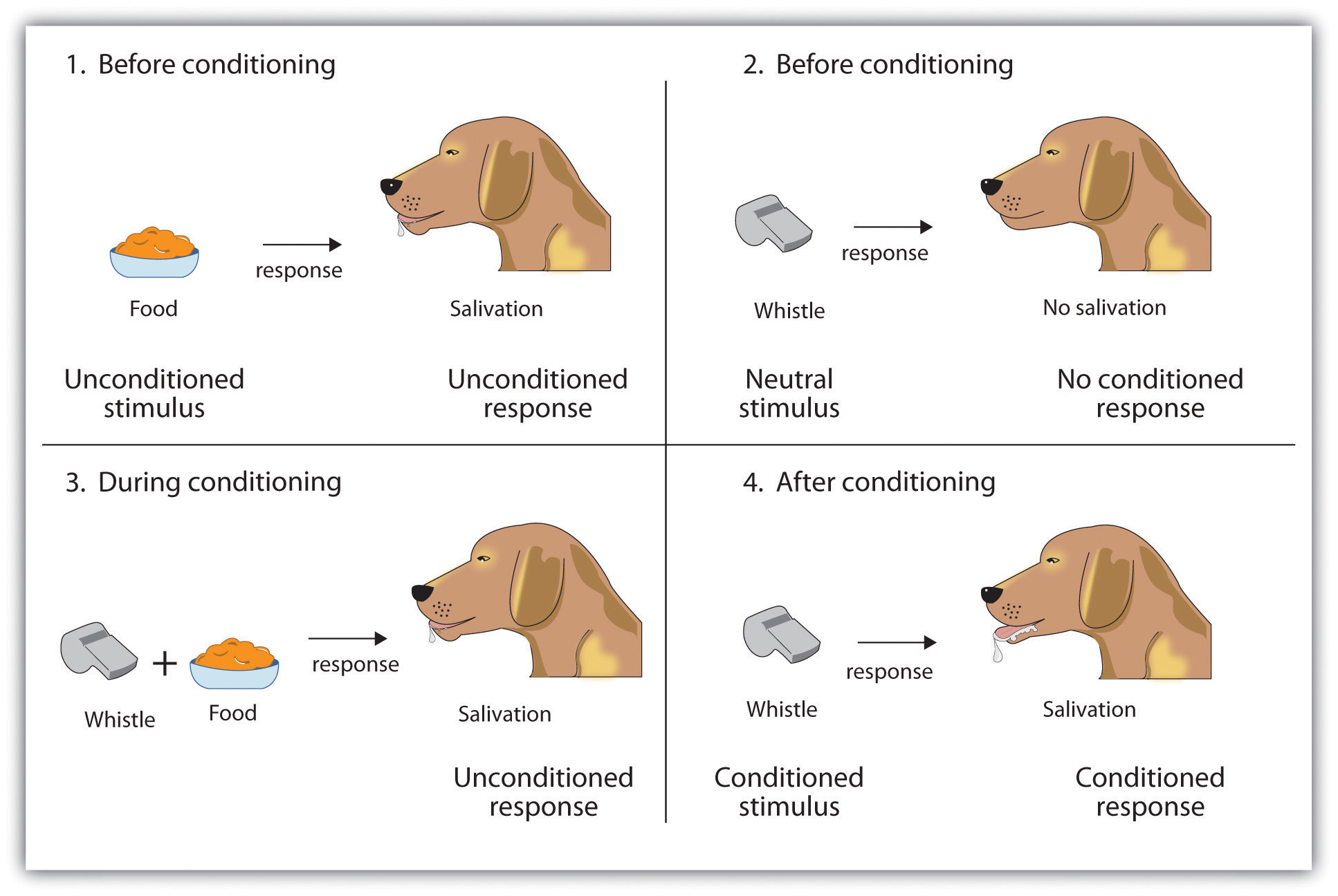 Top left: Before conditioning, the unconditioned stimulus (US) naturally produces the unconditioned response (UR). Top right: Before conditioning, the neutral stimulus (the whistle) does not produce the salivation response. Bottom left: The unconditioned stimulus (US), in this case the food, is repeatedly presented immediately after the neutral stimulus. Bottom right: After learning, the neutral stimulus (now known as the conditioned stimulus or CS), is sufficient to produce the conditioned responses (CR).