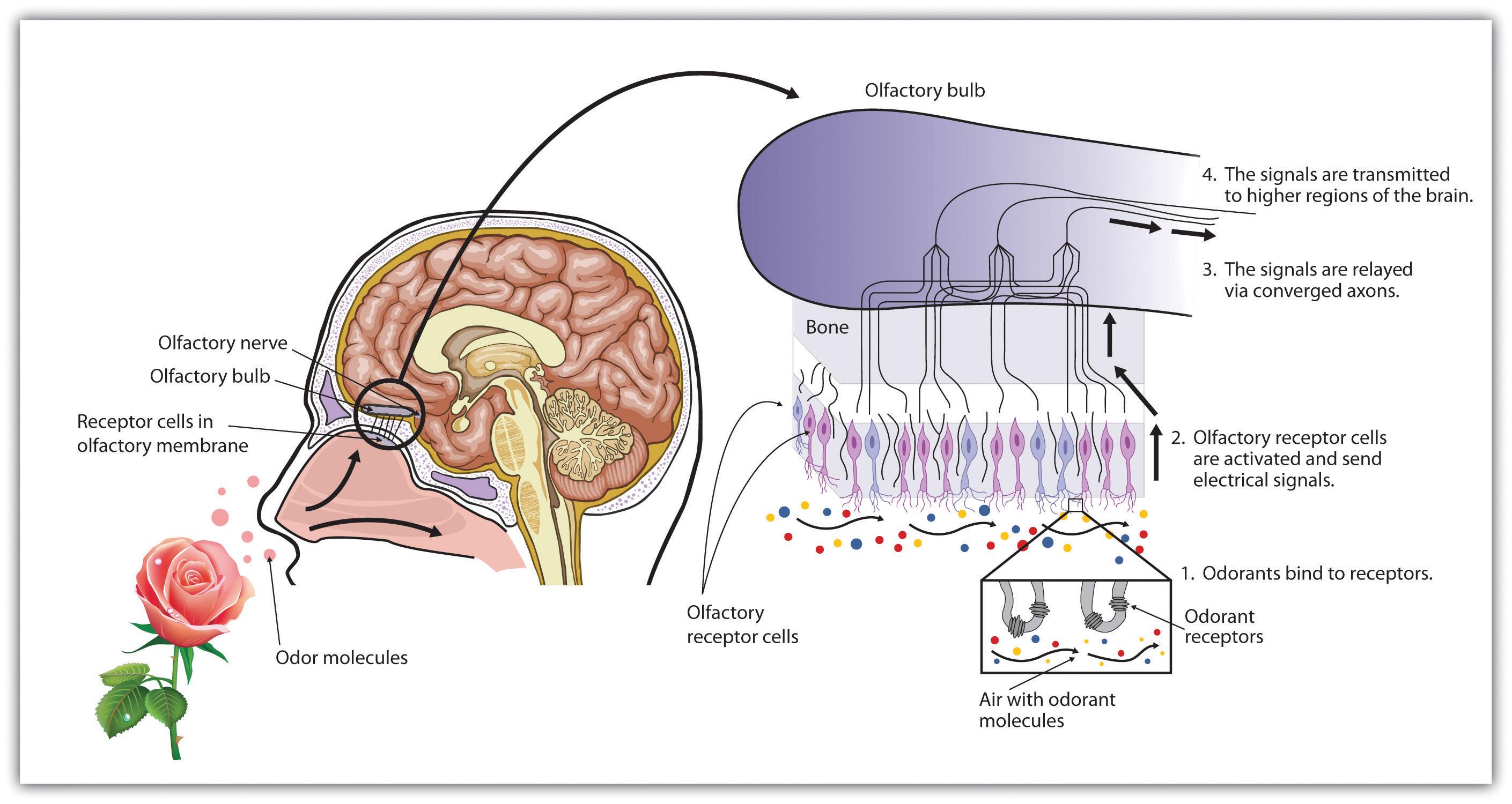 Smell receptors