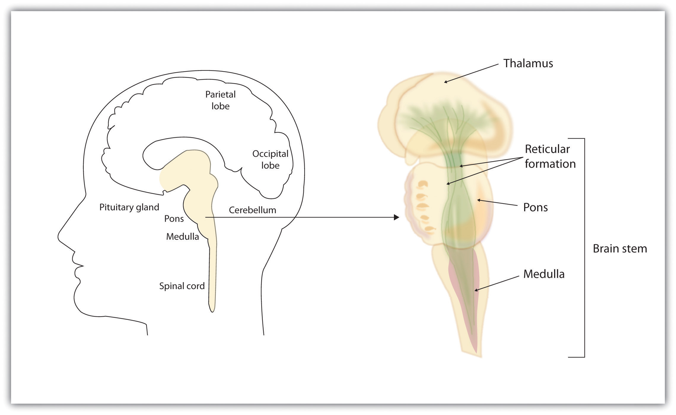 The brain stem and the thalamus