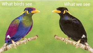 Birds can see in ultraviolet light so they are much more colorful to each other than they are to us humans