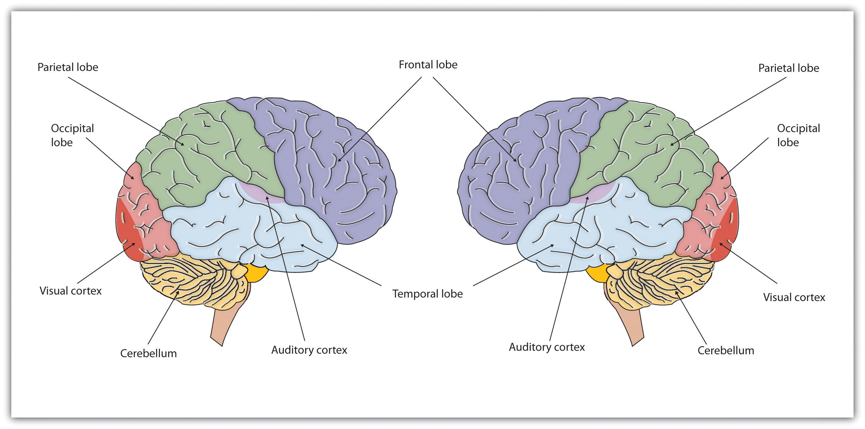 The two brain hemispheres