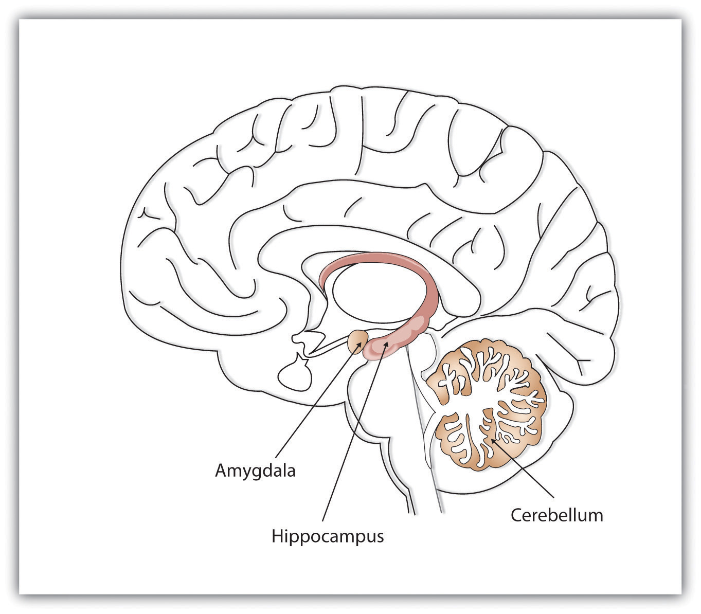 Schematic Image of Brain With Hippocampus, Amygdala, and Cerebellum Highlighted