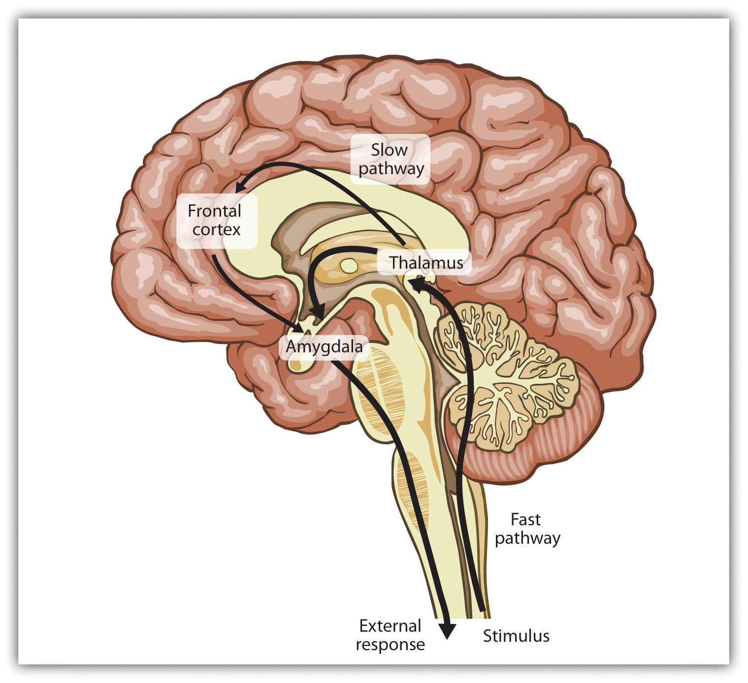 There are two emotional pathways in the brain (one slow and one fast), both of which are controlled by the thalamus.
