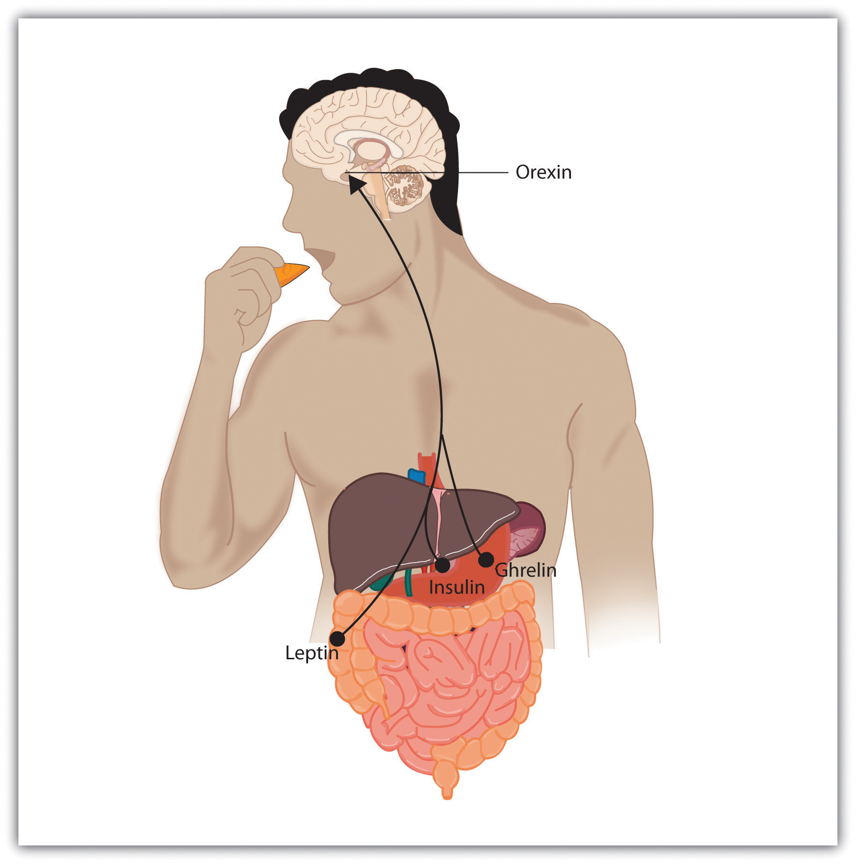 Eating Is Influenced by the Appetite Hormones