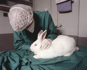 animal testing on a rabbit
