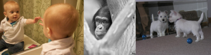 A collage of: a baby looking in a mirror, a chimpanzee behind a tree, and a puppy looking in a mirror