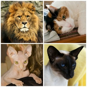 collage of cats (lion, house cat, hairless cat, siamese)