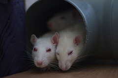 Three mice participating in studies
