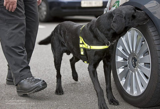 A dog sniffing for explosives by a car