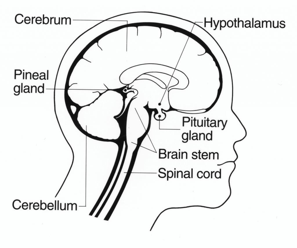 Illustration of human head. Labeled portions are: Cerebrum, Hypothalamus, Pituitary glad, Brain stem, Spinal cord, Cerebellum, Pineal glad