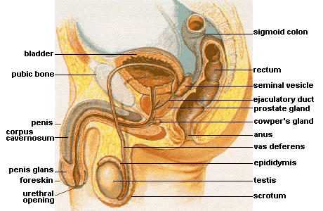 Image of male reproductive anatomy. Labeled are: Bladder, public bone, penis, corpus cavernosum, penis glans, urethral opening, scrotum, testis, epididymis, vas deferens, anus, cowper's gland, prostate gland, ejaculatory duct, seminal vesicle, rectum, sigmoid colon