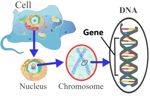 Image gene within a strand of DNA, in a chromosome, within a nucleus, in a cell.