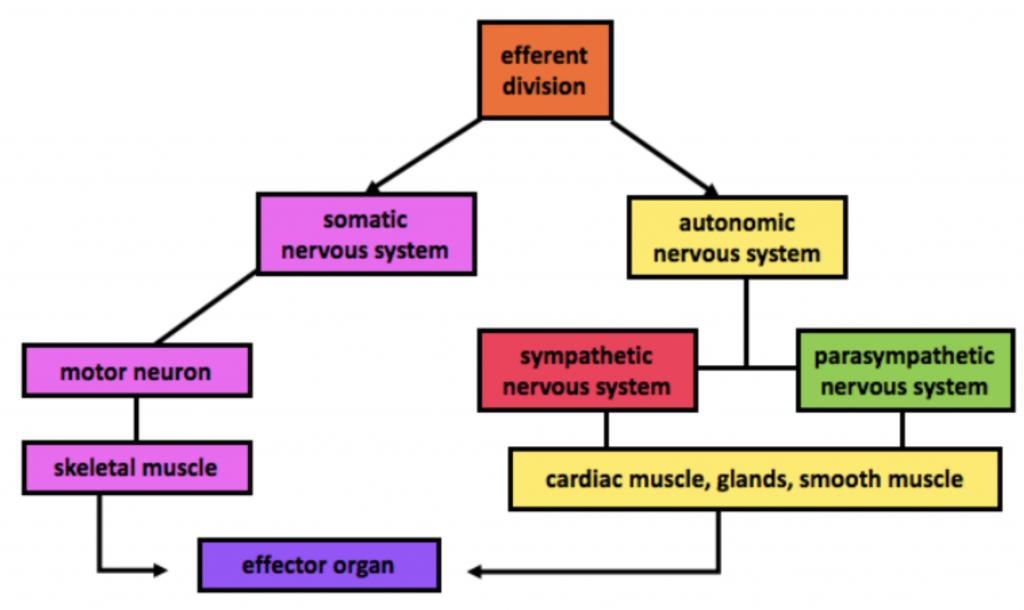 efferent division diagram