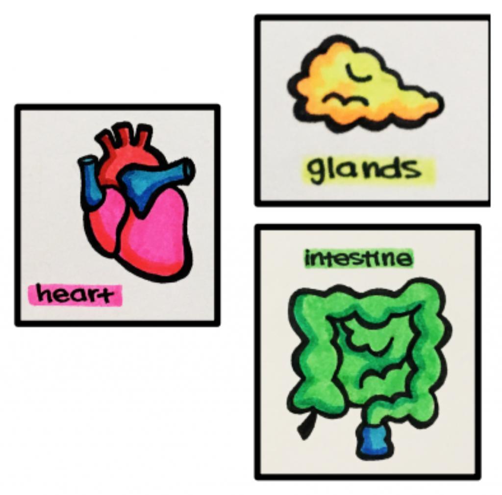 heart, glands, and intestine