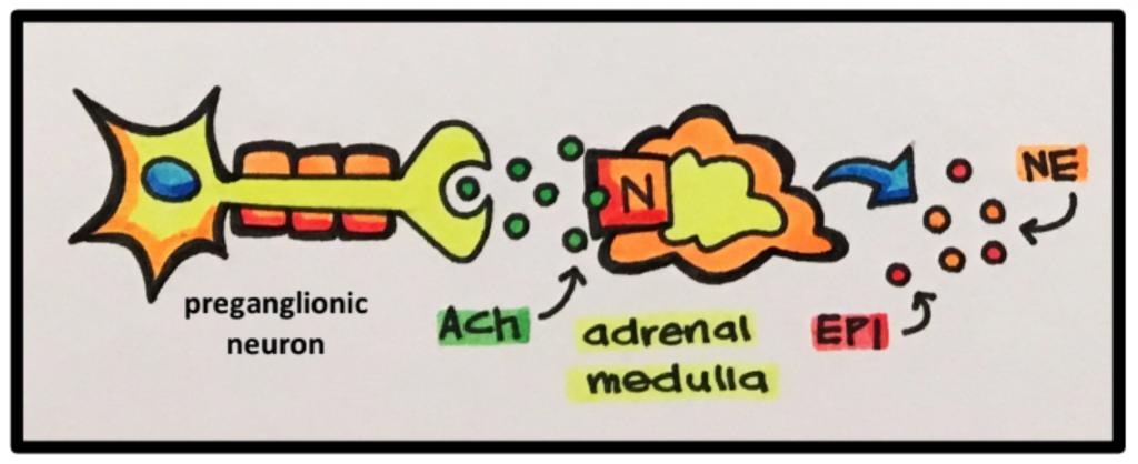 adrenal medulla diagram