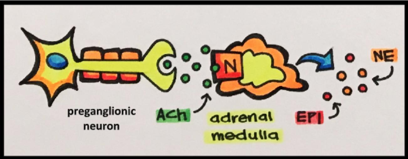 preganglionic neuron