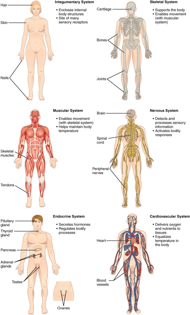 1.1 Structural Organization Of The Human Body – Human Biology