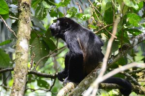 The photo shows a black monkey with its mouth open in a howl.