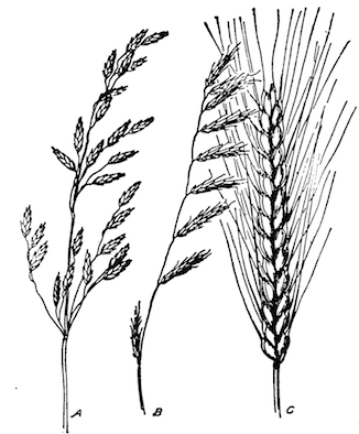 Different types of inflorescences. A = panicle, B = raceme, C = spikelet.