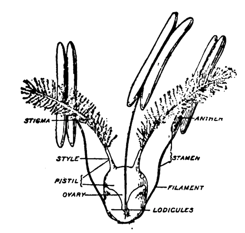 Diagram of a typical grass flower.