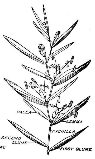 Diagram of a grass spikelet.