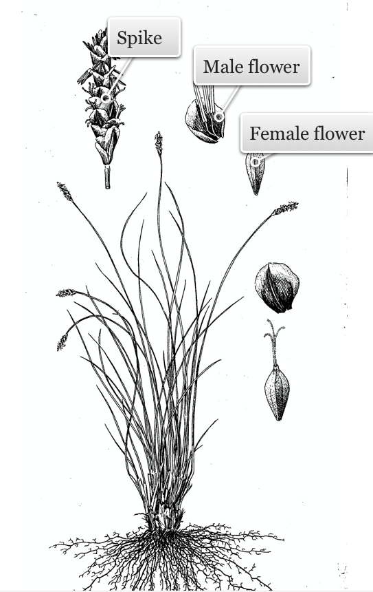 Reproductive structures of threadleaf sedge