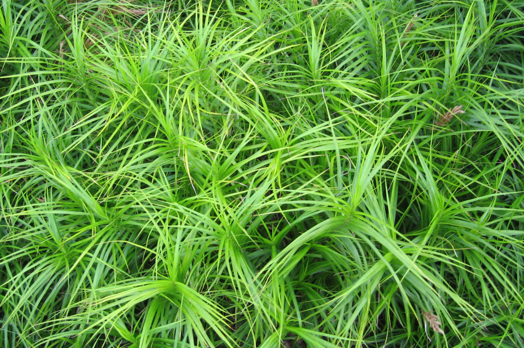 A view of muskingum sedge 'Oehme' from above clearly showing the three-ranked leaves of a sedge