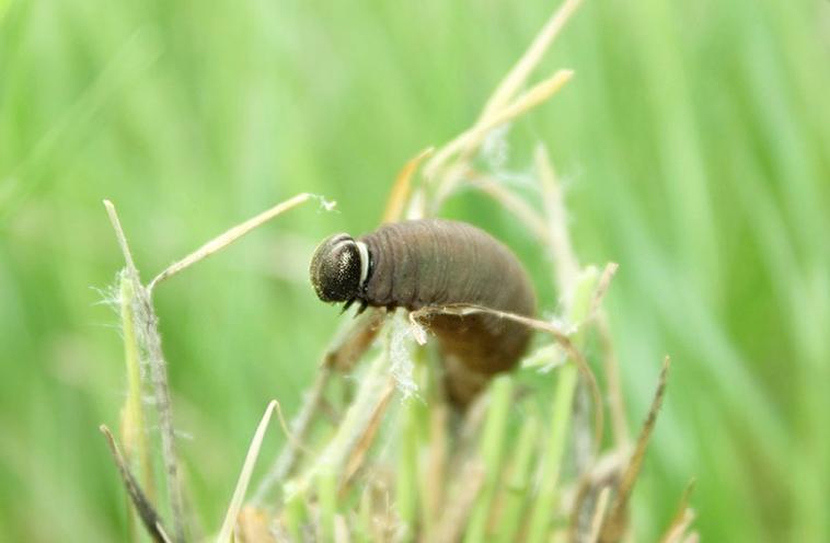 Dakota skipper larvae by the Minnesota Zoo.