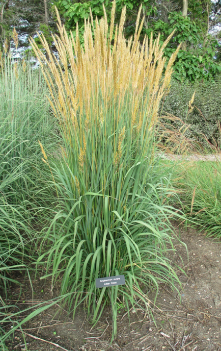 Indiangrass in flower.