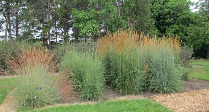 Potential Indiangrass nativars planted for trials at the MN Landscape Arboretum.