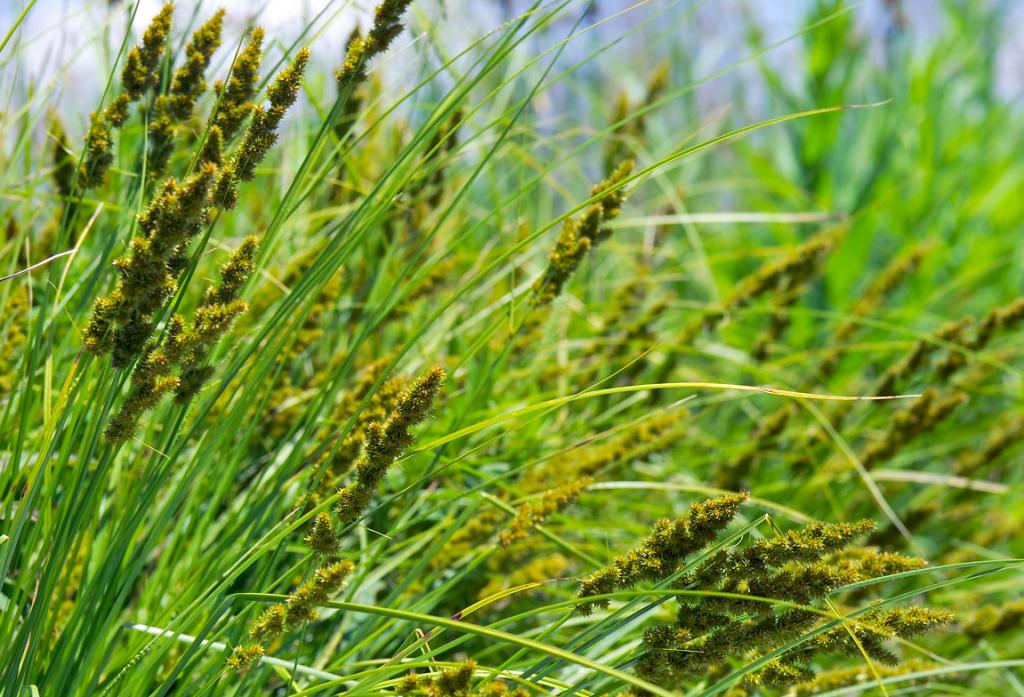 Native sedge in wetland. Photo by Dave Hansen.