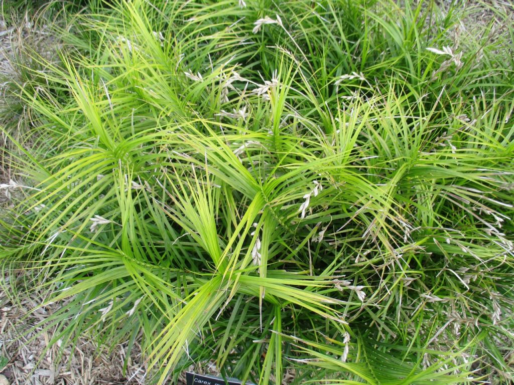 palm sedge in seed
