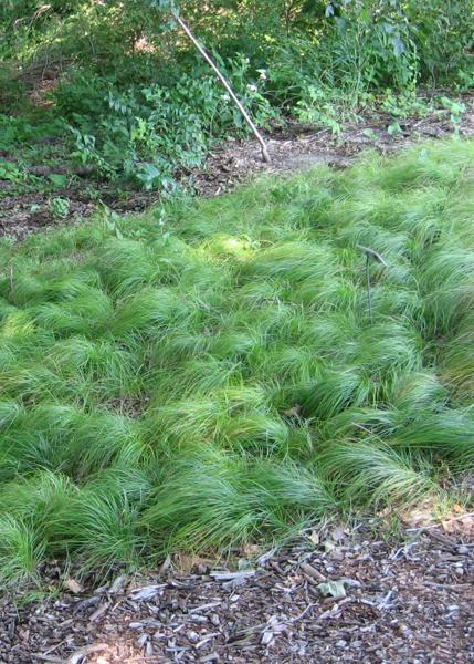 Pennsylvania sedge growing in the shade.
