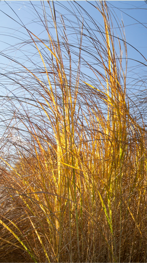 Culms upright and spreading, with the inflorescence arching and/or nodding. Prairie cordgrass, pictured above, typically exhibits an upright arching form.