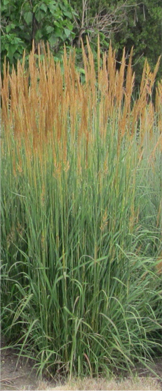 Culms are rarely, if ever, branched and usually perpendicular to the ground; mature height of each culm many times greater than width, like the Indiangrass.