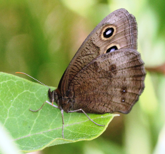 The common wood nymph, a species in the Satyrinae family by Karl Foord.