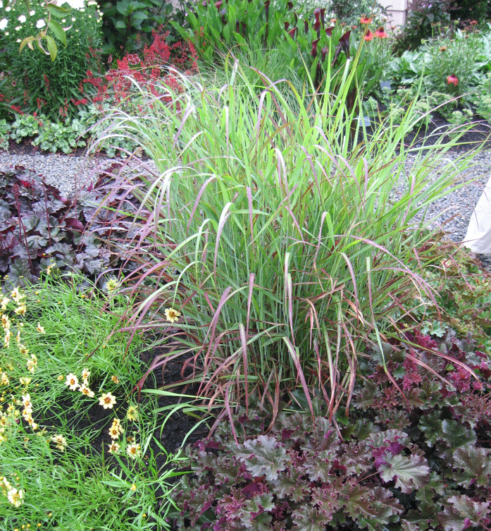 A big bluestem plant pairs nicely with purple coral bells and threadleaf coreopsis.