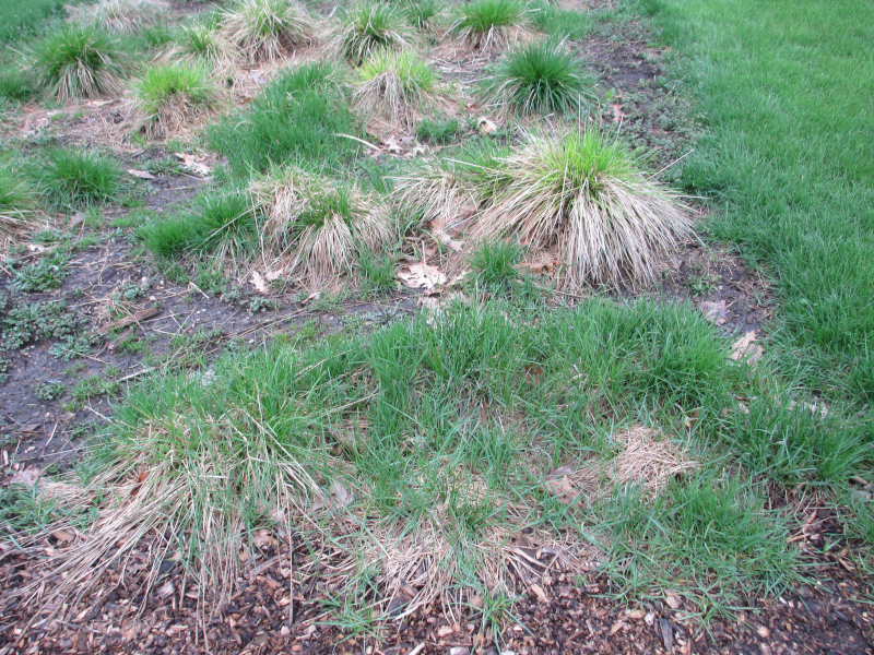 Rhizomatous Kentucky bluegrass has invaded this row of bunch grasses.
